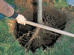 racines-nues