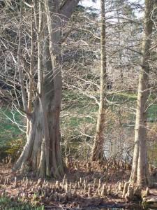 Jardins-du-pays-vert-taxodium-distichum